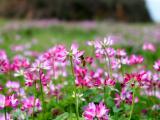 供应紫云英种子 绿肥种子 优质牧草 天然饲料