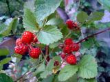 茅莓粉 茅莓提取物 茅莓生粉
