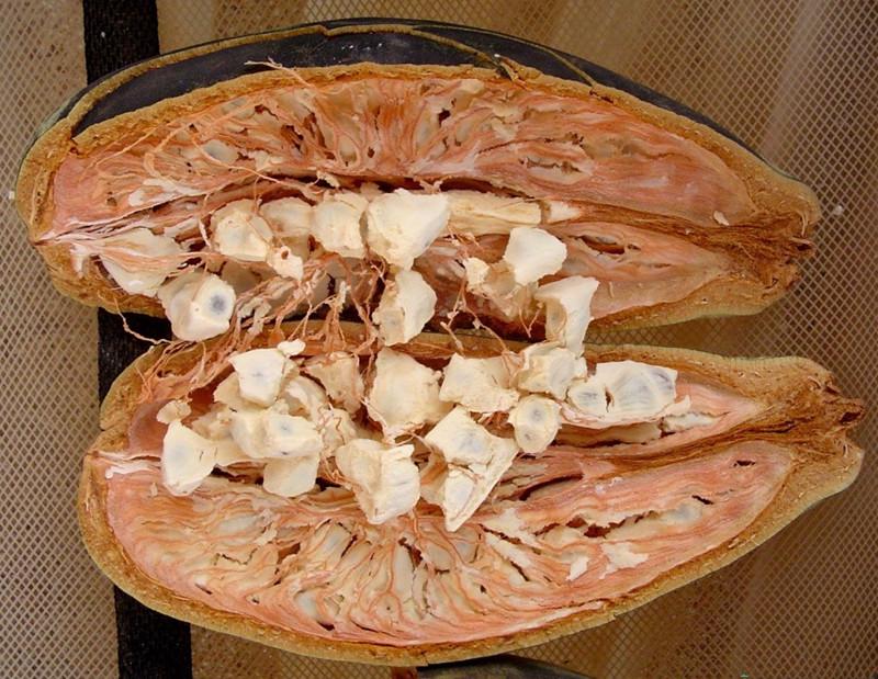 """猴面包树(拉丁学名:Adansonia digitata L.)又叫波巴布树、猢狲木或酸瓠树,是大型落叶乔木,主干短,分枝多。叶集生于枝顶,小叶长5厘米,长圆状倒卵形,急尖,上面暗绿色发亮,无毛或背面被稀疏的星状柔毛,长9~16厘米,宽4~6厘米;叶柄长10-201厘米。树冠巨大,树杈千奇百怪,酷似树根,树形壮观,果实巨大如足球,甘甜汁多,是猴子、猩猩、大象等动物喜欢的食物。当它果实成熟时,猴子就成群结队而来,爬上树去摘果子吃,""""猴面包树""""的称呼由此而来。"""