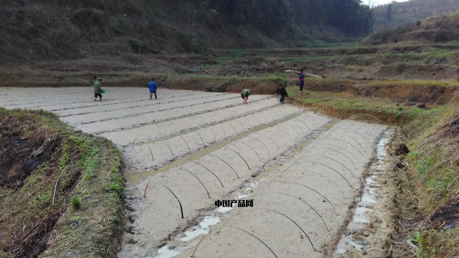 蜀香978优质水稻
