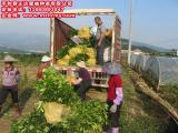 百亩三红蜜柚苗基地—福建平和县正达蜜柚种苗有限公司