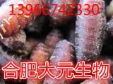苍蝇种 蝇蛆种 工程苍蝇种,红头蝇蛆种报价批发
