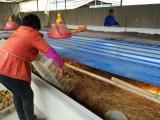 青脚红羽土鸡苗自生源3号鸡苗大量供应提供技术包存活