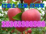 苹果产地 红星红将军苹果低价批发