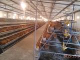 土鸡苗供应青脚红羽土鸡批发提供技术包运输