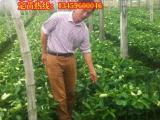 平和三红柚子苗|平和柚子苗价格|三红柚子苗多少钱