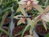 温州批发零售各种类型高品质兰花,春兰,国兰,蝴蝶兰