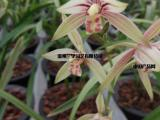 温州批发春兰,高品质国兰出售销售,种植基地兰花提供