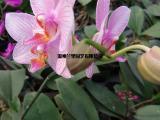 温州批发出售蝴蝶兰,鲜艳高品质蝴蝶兰花出售销售,种植基地供应