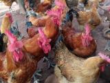 土鸡销售自生源禽业包运输青脚红羽土鸡苗