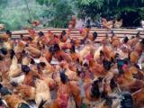 青脚红羽3号鸡苗常年供应自生源禽业包运输