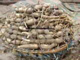 莲藕基地莲藕批发莲藕种子鄂莲六号藕种 珍珠藕种