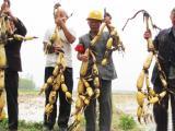 厂家批发白莲藕种 基地大量供应优质莲藕种批发