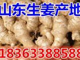 万亩生姜产地供应生姜鲜姜老姜 生姜基地批发价格总汇