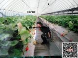 直招日本九州西红柿栽培女工