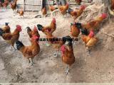 有实力无畏惧自生源禽业供应优质土鸡苗全国批发包运输包技术
