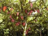 仿真咖啡树桃树批发 咖啡树枝 假果树