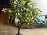 仿真柠檬树制作过程 仿真柠檬树价格 大型柠檬树