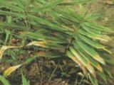 供应山奈酚,细叶远志皂苷,乙酰哈巴苷,山茱萸苷