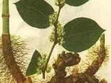 供应白藜芦醇,苦玄参苷IA,芦荟苷,根皮素