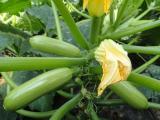 布莱克 西葫芦种子 越冬专用西葫芦品种