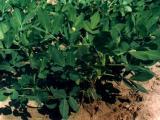 供应木犀草素,三叶豆紫檀苷,山奈苷,利卡灵-B