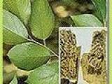 供给绿原酸,紫菀酮,三白草酮,汉黄芩素