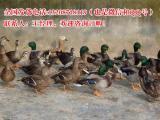 翡翠鸭生态养殖项目