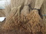出售枸杞苗|批发枸杞苗|枸杞苗种植