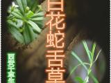 白花蛇舌草提取物 白花蛇舌草浓缩粉 白花蛇舌草浸膏粉