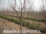 3公分樱桃树-4公分樱桃树5公分樱桃树-各种规格樱桃树