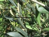 厂家供应  橄榄叶提取物(橄榄苦苷)40%,20%