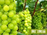 紫葡萄营养价值