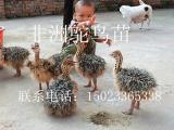 鸵鸟,鸵鸟苗,非洲鸵鸟苗,重庆鸵鸟养殖基地