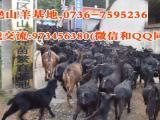 高脚羊繁育厂高脚羊饲养技术