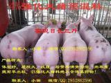 生猪催肥,猪牛羊促长增重产品较好的选择克仑巴安