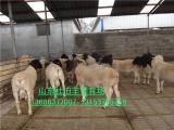 供应杜泊羊销售市场 杜泊绵羊价格