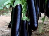 早春茬茄子苗 温室茄子种苗报价
