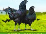 绿壳蛋土鸡苗 五黑一绿绿壳蛋鸡苗 乌鸡苗厂家直销包打疫苗