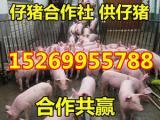 仔猪今日批发价格 品种齐全 货源充足
