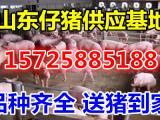 仔猪批发市场猪苗市场价格行情