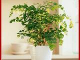 武汉绿植精品大小绿萝盆栽,遇水即活,叶片浓厚可分盆,生命顽强