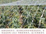 2016年新米农家小米小黄米