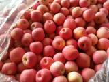 全国红富士冷库苹果价格地面果价格