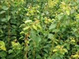 丰园红杏树苗价格=80公分丰园红杏树苗价格
