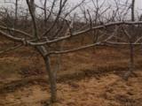 3公分山楂树+4公分山楂树=5公分山楂树价格