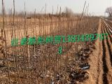 红香酥梨树苗多少钱一棵? 山西哪里有红香酥梨树苗出售