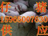 哪里的仔猪价格便宜