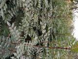 大红袍花椒苗多少钱一棵? 大红袍花椒苗一亩地种多少棵?