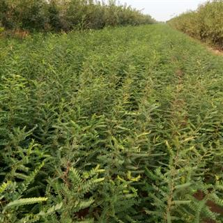 大刺皂角苗价格=1年皂角苗种植户 1公分皂角苗价格
